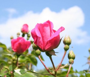 Damaszena Rose