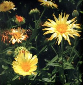 Helichrysum133