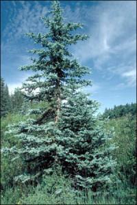 BlauFichte Picea pungens