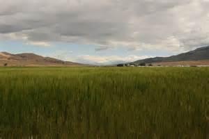 Einkorn Feld